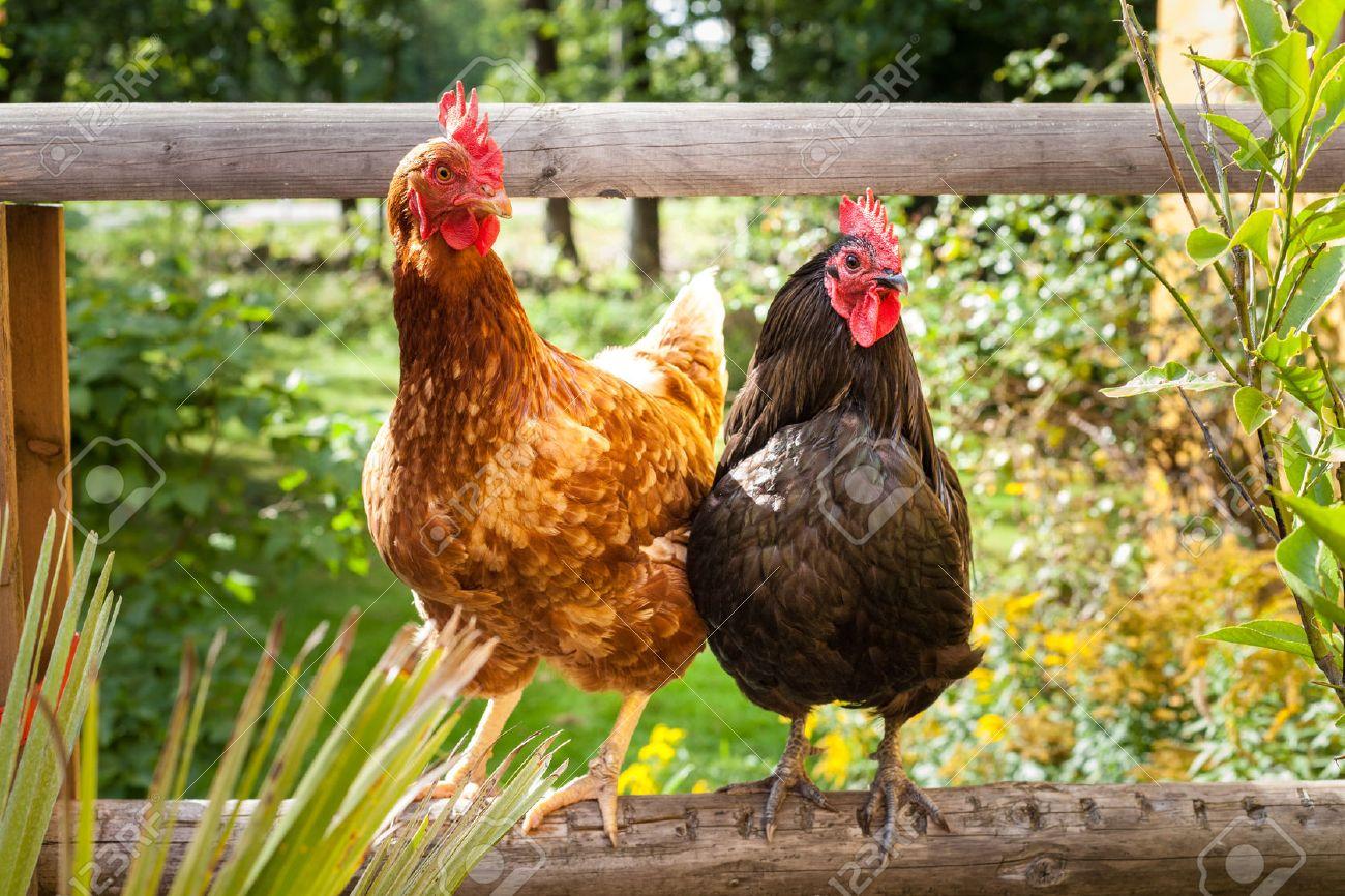 You are currently viewing Tiques chez les poulets  – prévention et traitement avec des remèdes naturels
