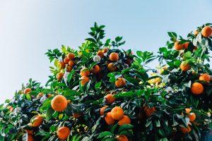 Read more about the article Cultivez vos agrumes avec la terre de diatomée