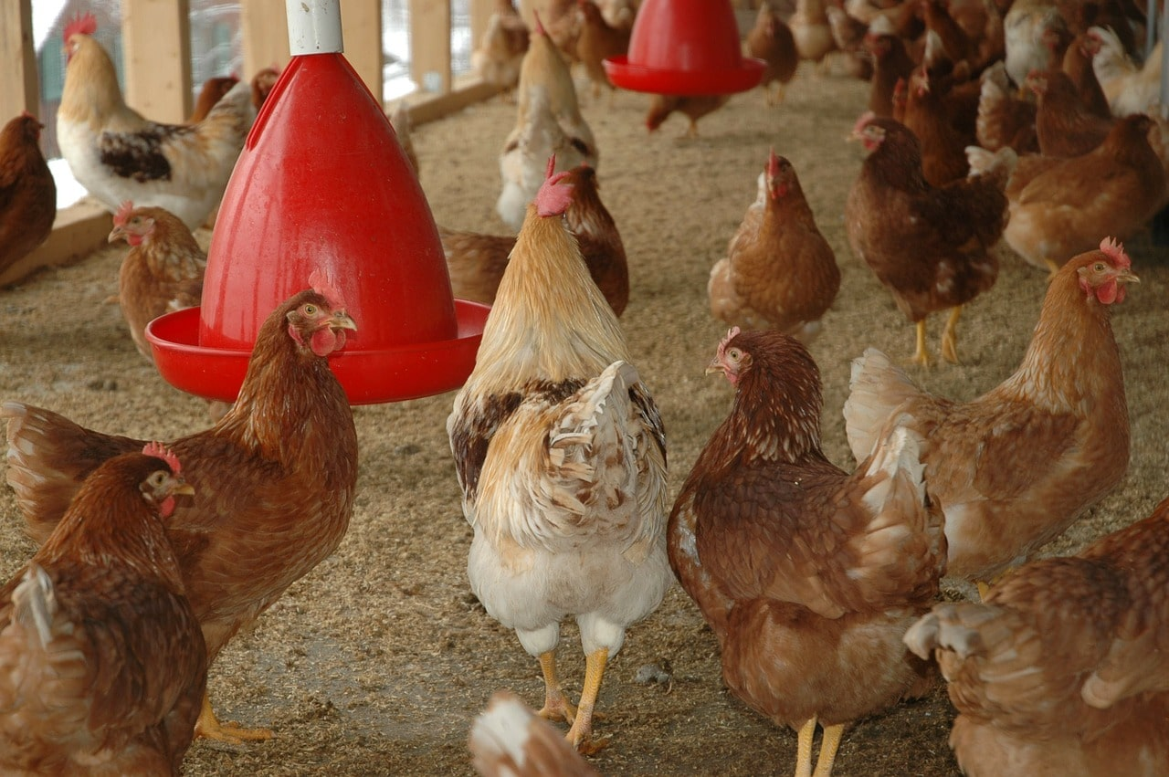 You are currently viewing Vermifugation des poules et hygiene des poulaillers