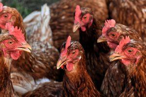 Read more about the article De la terre de diatomée pour votre élevage de poules